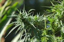 Legalizace konopí pro léčebné účely